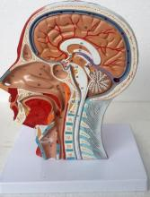 3D Brain Anatomy Mould